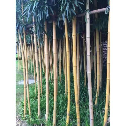 黄杆乌哺鸡竹