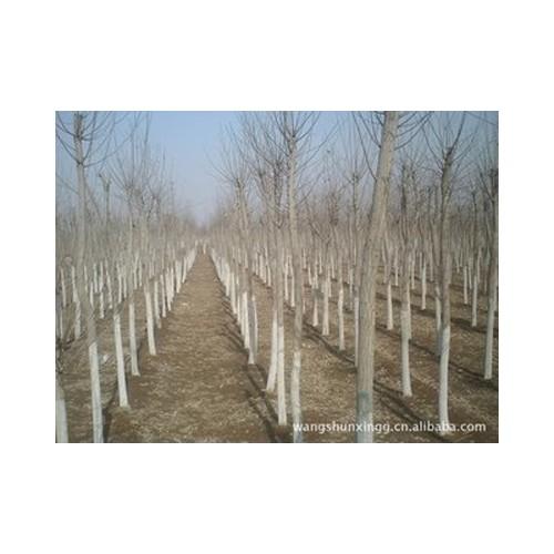 新疆园林绿化苗木销售苗圃-甘肃园林绿化苗木基地怎么样
