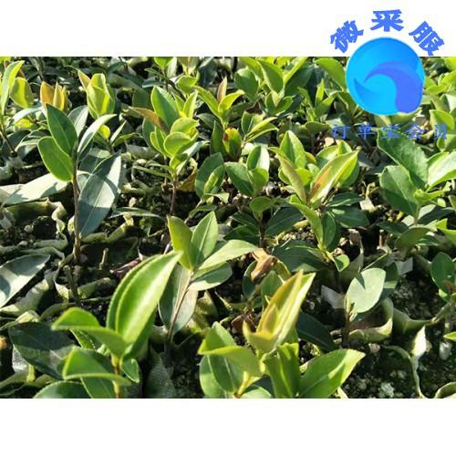西藏湘林油茶供销-在哪能买到品种好的湘林油茶