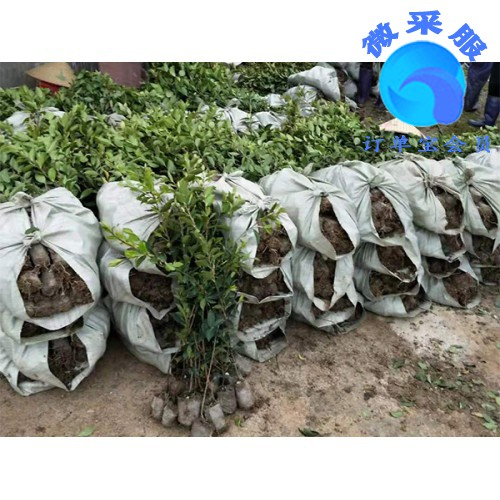 良种油茶苗哪里有供应-品种好的良种油茶苗出售
