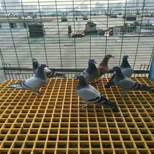 养鸽子用玻璃钢格栅