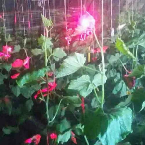 黄瓜专用补光灯