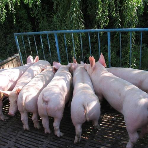 种猪 长白种猪