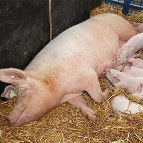 母猪 长白母猪养殖