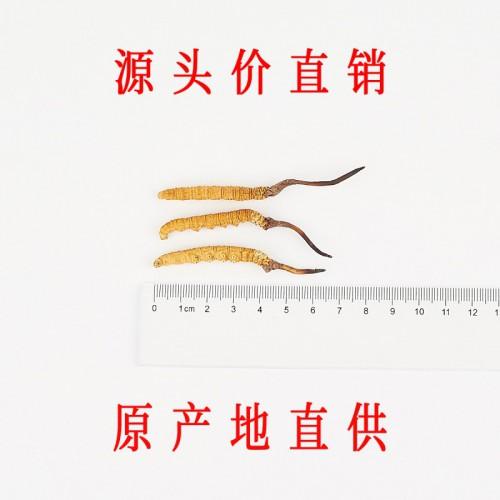 那曲冬虫夏草 1.6条/克 精选正宗那曲头期虫草